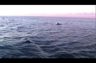 Delfiner i leg bag M/S Bodil